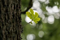 The Oak